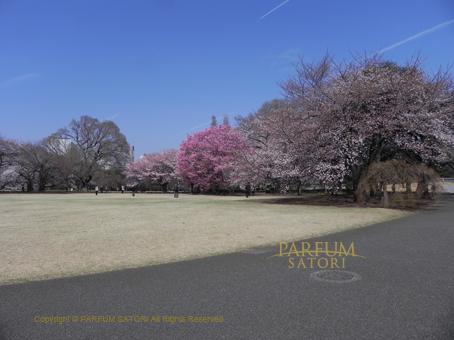 新宿御苑桜.jpg