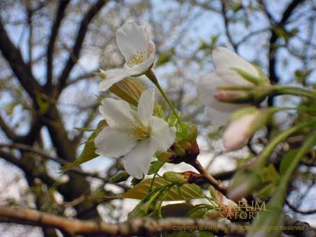 100322山桜.jpg