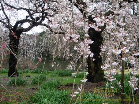 100327しだれ桜2.jpg