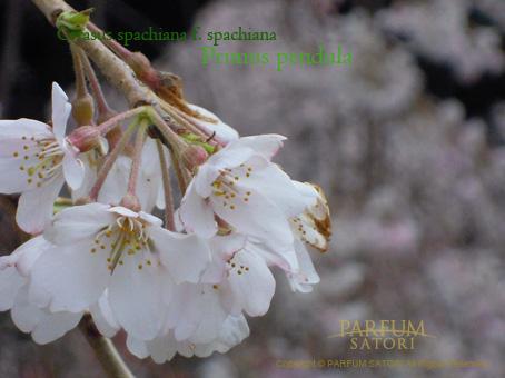 100327しだれ桜.jpg