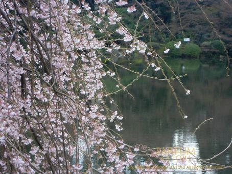 100327しだれ桜3.jpg