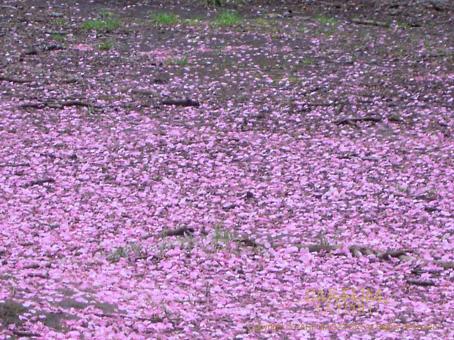 100327花じゅうたん4.jpg