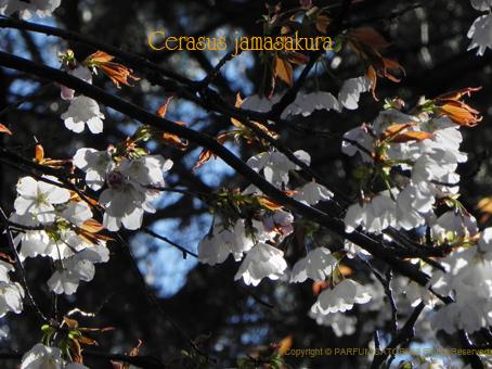 10140331ヤマザクラCerasus jamasakura2.jpg