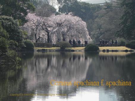 10140331枝垂れ桜.jpg