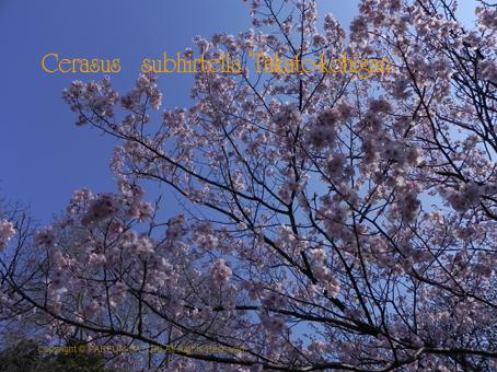 10140331高遠小彼岸桜.jpg
