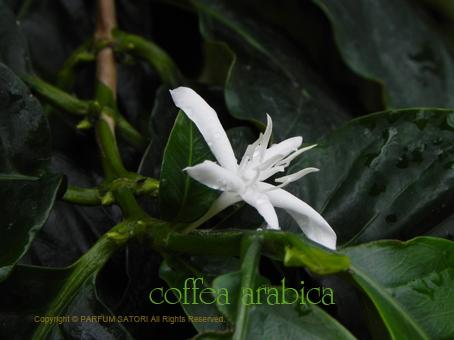 10140516コーヒーの花1.jpg