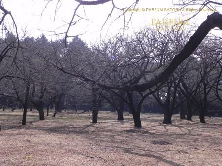 120224桜の林.jpg