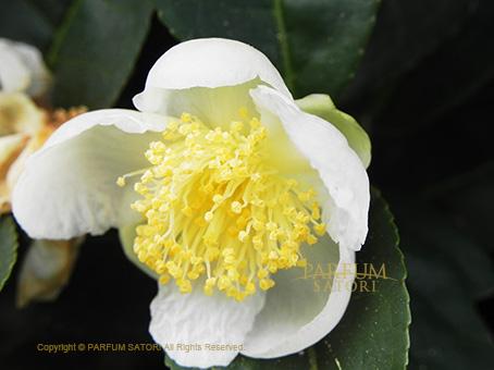 141120茶の花.jpg