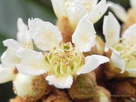 141121びわの花しべ.jpg