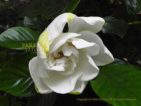 141216クチナシ花.jpg