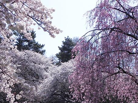 150403桜の園.jpg