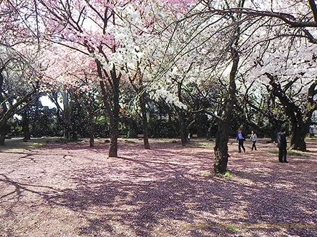 150403桜吹雪2.jpg
