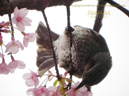 20160321ひよどりと桜.jpg