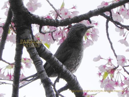 20160321ひよどりと桜2.jpg