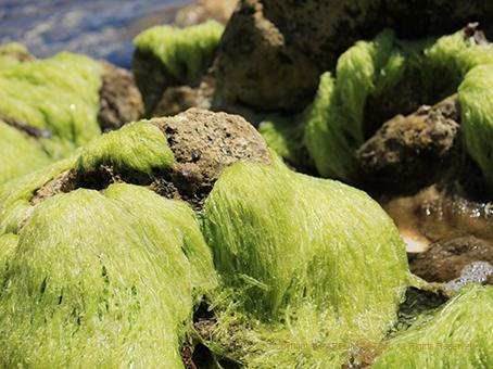 20160609サントノラ島24海藻.jpg