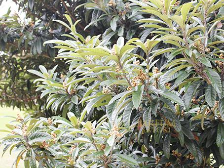 20161124枇杷の木.jpg