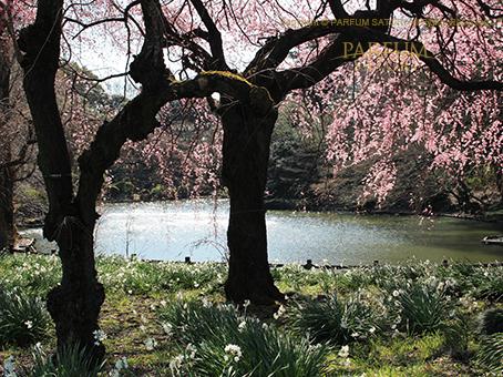 20170322枝垂桜.jpg