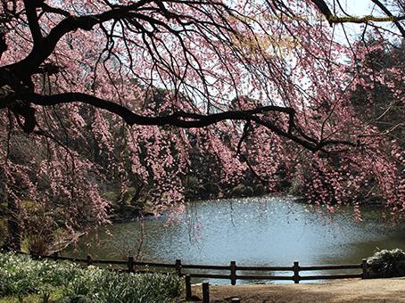 20170322枝垂桜2.jpg