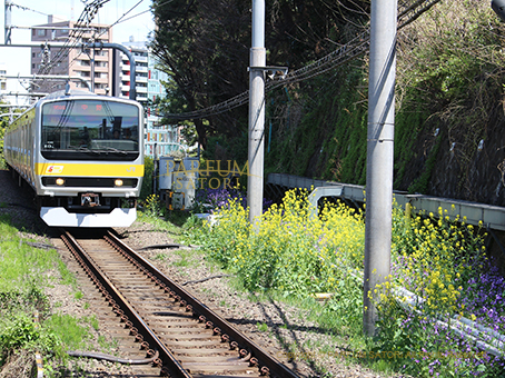 20170412菜の花と電車.jpg