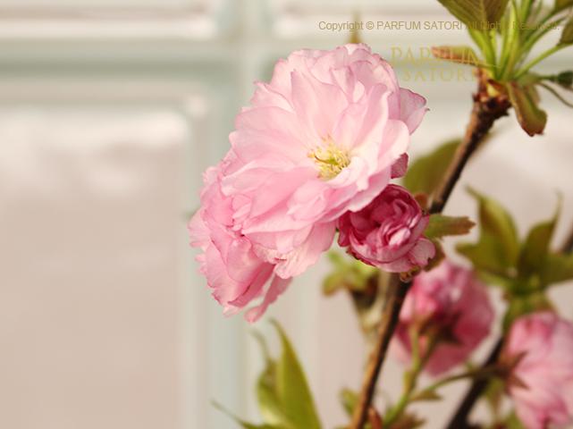 20180411八重桜.jpg