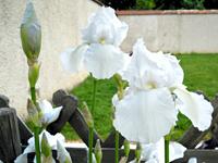 シルクイリス(Iris)