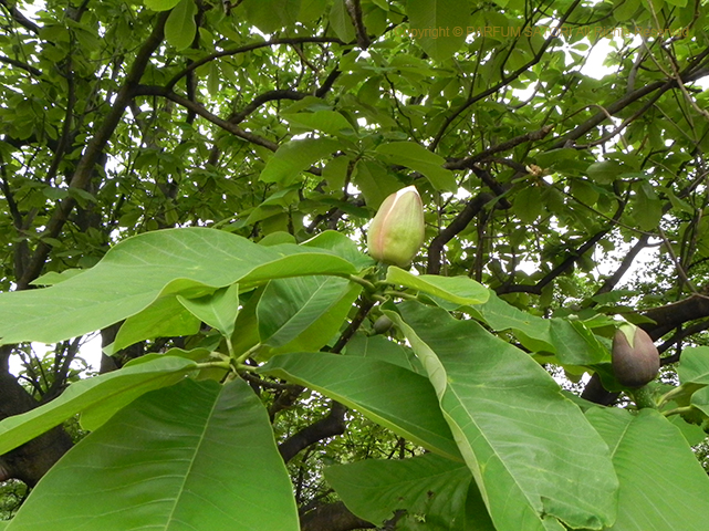 朴の花,朴の木,マグノリア,新宿御苑,ハナヒラク,HANAHIRAKU,