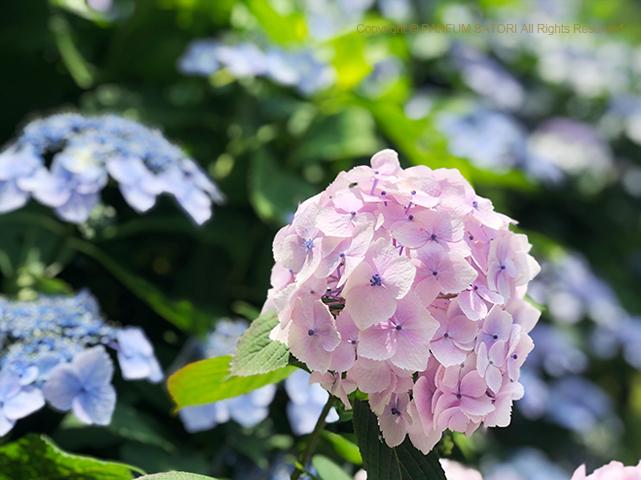 紫陽花,アジサイ,新宿御苑,