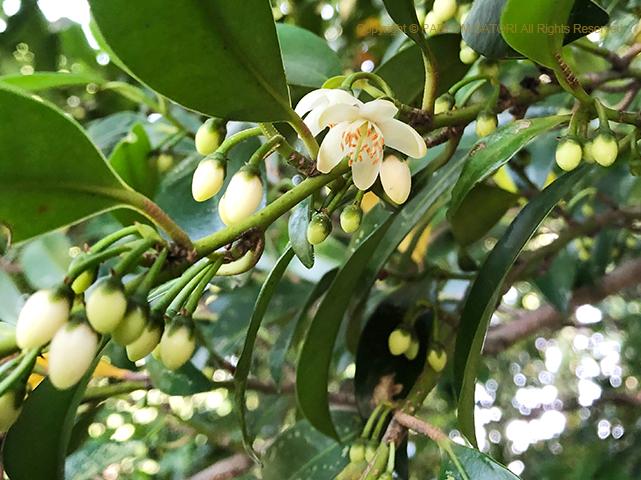 木の花,榊,サカキ,白い花,夏の花,新宿御苑,
