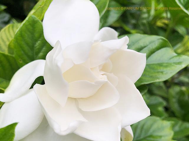 香りの花,クチナシ,ガーデニア,