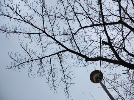 桜 2020年1月12日