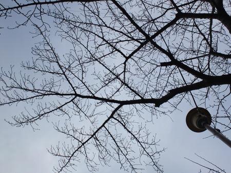 桜 2020年1月19日