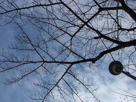 桜 2020年1月24日