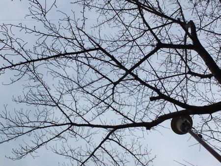 桜 2020年1月26日