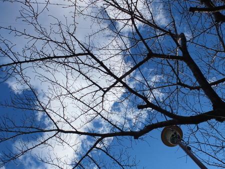 桜 2020年1月31日