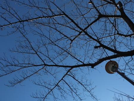 桜 2020年2月11日