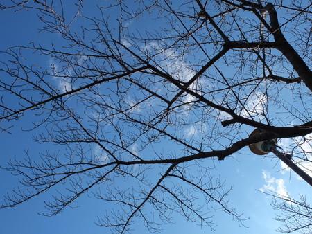 桜 2020年2月13日