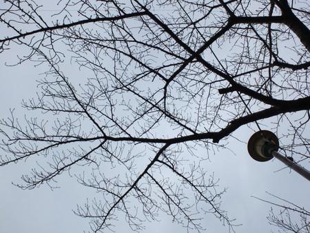 桜 2020年2月15日