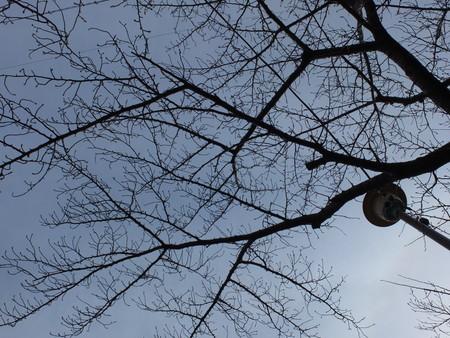 桜 2020年2月19日