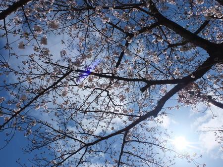 桜 2020年3月29日