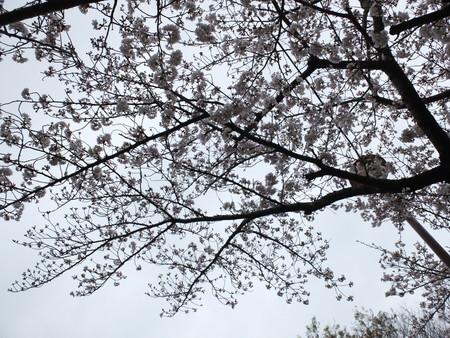 桜 2020年3月31日