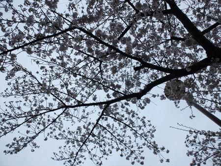 桜 2020年4月1日
