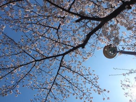 桜 2020年4月2日