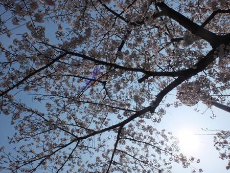 桜 2020年4月3日