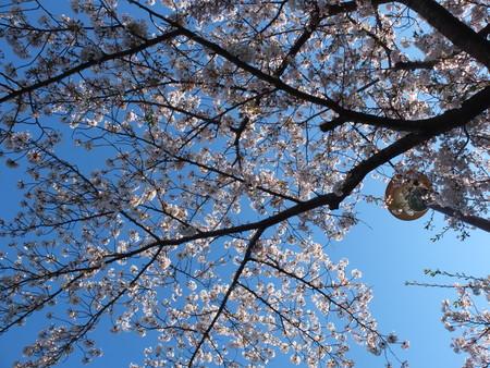 桜 2020年4月5日