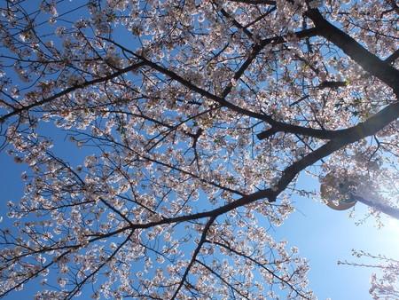 桜 2020年4月6日