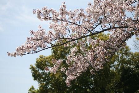 桜とたんぽぽ 春に再会 ピンクと黄色