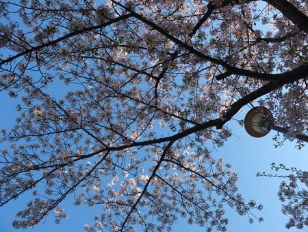 桜 2020年4月7日
