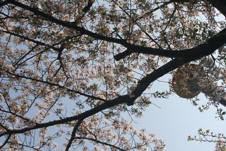 桜 2020年4月8日