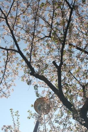 桜 2020年4月9日