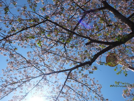 桜 2020年4月10日